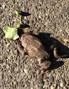 Schlafender Frosch